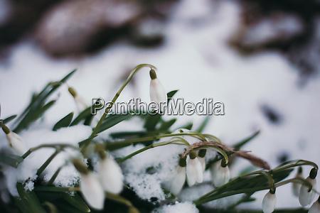 fruehling winter blumen bluete schnee kalt