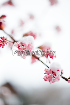 fruehlingsblumen mit schnee