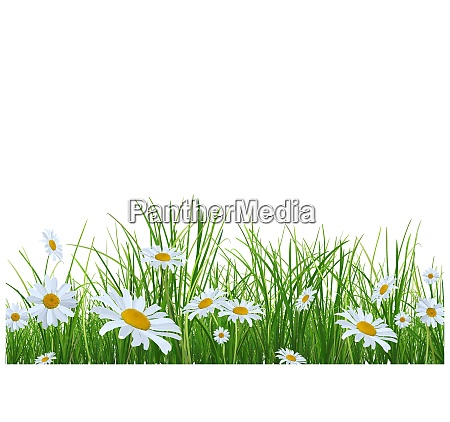 grass with daisies flowers