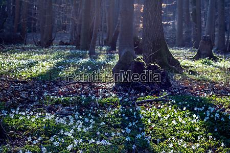 fruehlingssaison waldboden mit bluehender anemone nemorosa