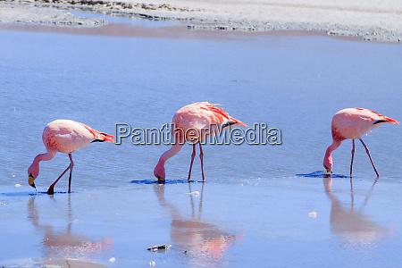 laguna hedionda flamingos bolivien anden
