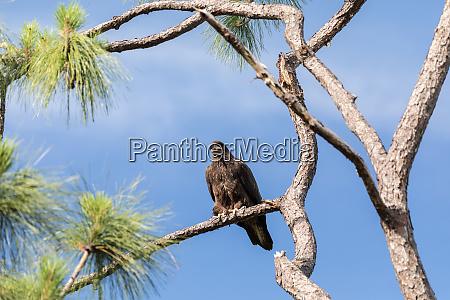 jungadler haliaeetus leucocephalus greifvogel barsche auf