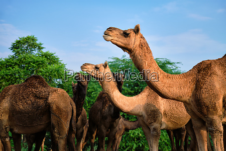 kamele auf der pushkar mela pushkar