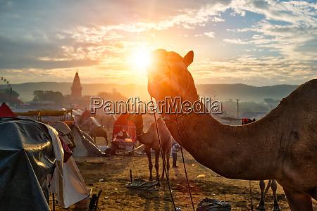 kamel auf pushkar mela kamelmesse bei