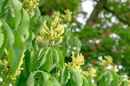 flowering, horse, chestnut - 28394716