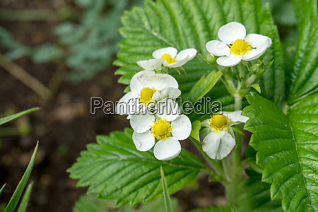 flowers, and, leaves, of, wild, strawberry - 28394753