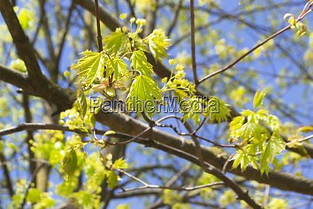blumen des ahornbaums bluehende ahornbaum zweige