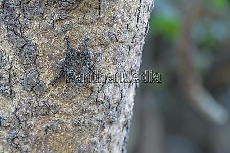 proboscis fledermaus ruhe in der tageszeit