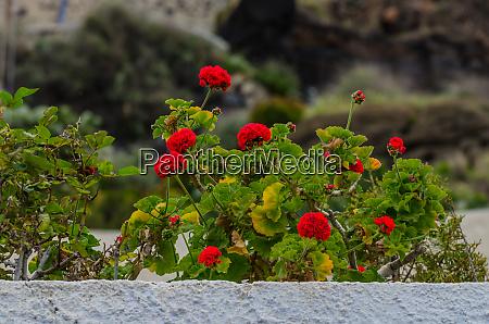 rote blumen auf dem balkon