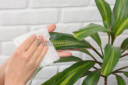hands wipe dust with plants with