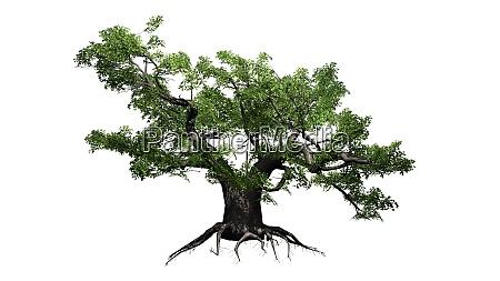 gruener japanischer ahornbaum