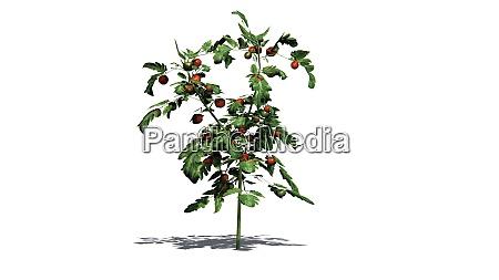 tomatenpflanzen, auf, weißem, hintergrund - 28449335