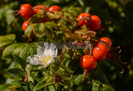 blooming rose hip with fruits