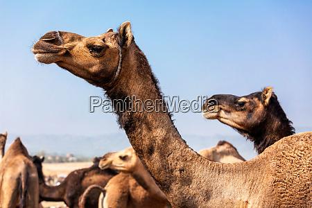kamele auf der pushkar mela camel