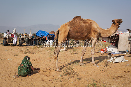 indian, woman, collecting, camel, camel, dung - 28468883