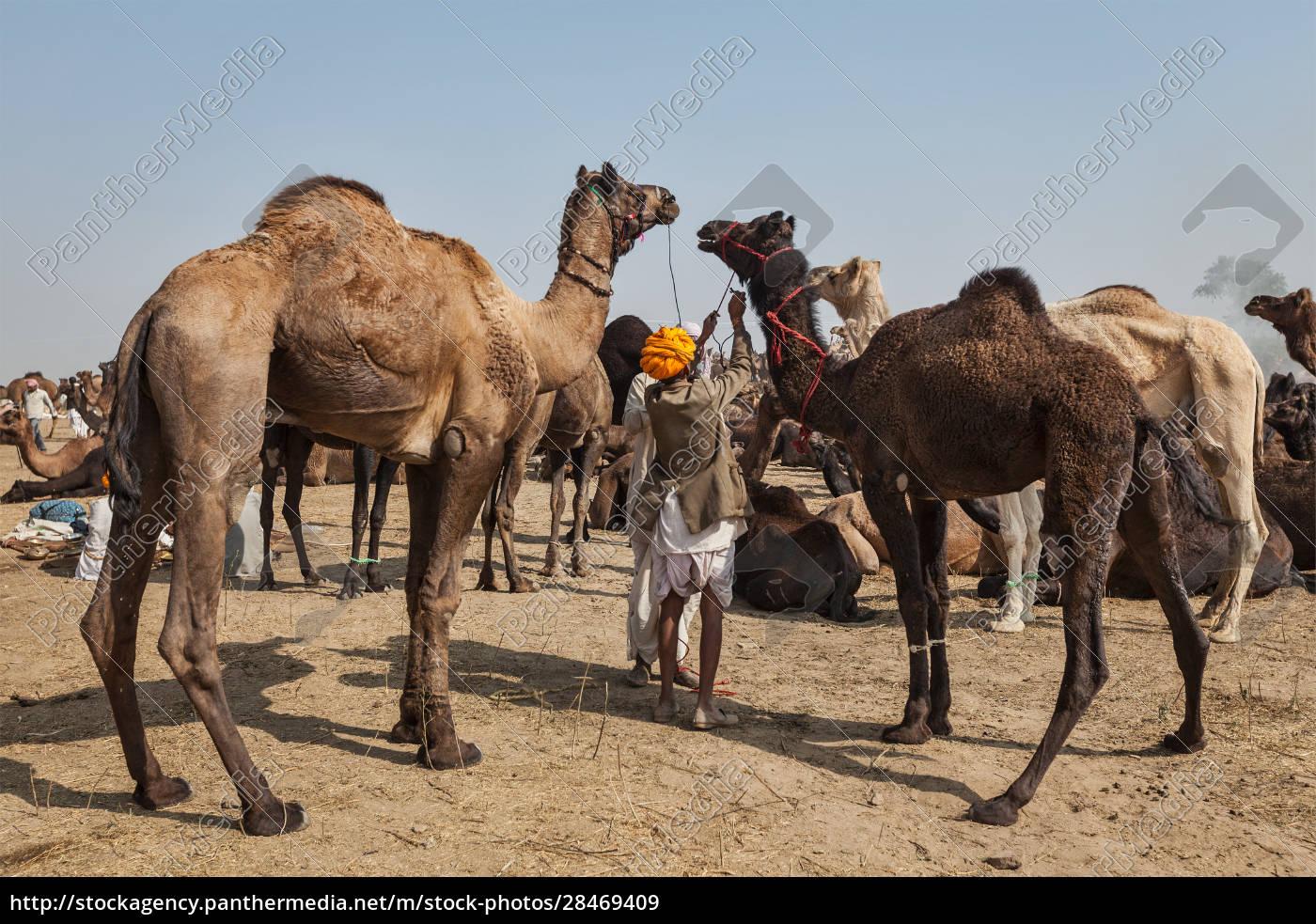 indian, men, and, camels, at, pushkar - 28469409