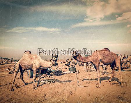 kamele in pushkar mela rajasthan indien