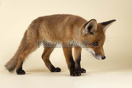 saeugetiere fuchs 2020 32692