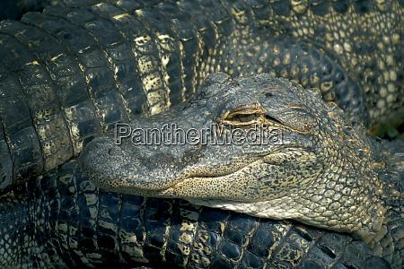 alligators bewirtschaften viele aligatoren wuetenden hintergrund