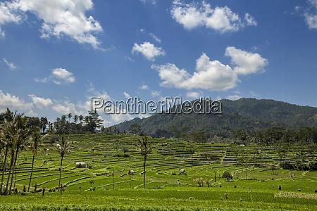 indonesien gruene reisterrassen in bali