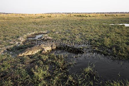 schoenes krokodil in afrikanischer landschaft und