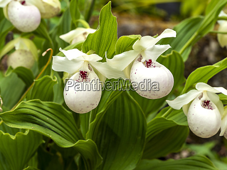weisse dame hausschuhe orchidee blumen cypripedium