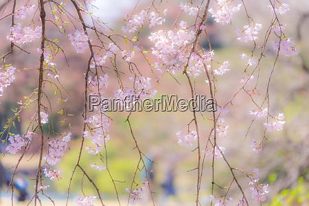 bild des weinenden kirschbaums von rikugien