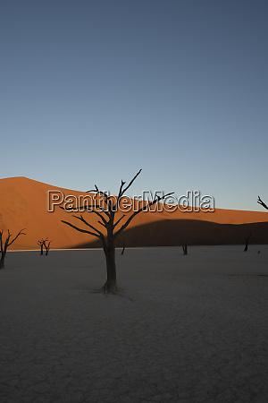 tote kamelhornbaeume sitzen in einer salzpfanne