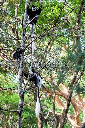 familie von colobus guereza AEthiopien afrika