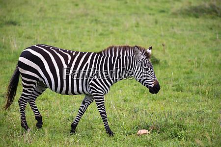 zebras mitten in der savanne kenias