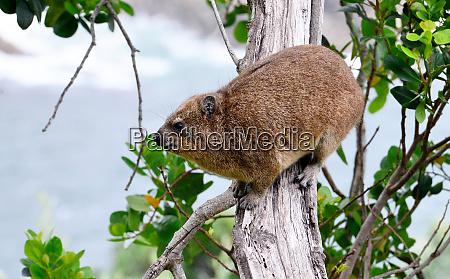 rock hyrax tsitsikamma nationalpark