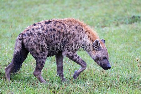 eine hyaene geht in der savanne