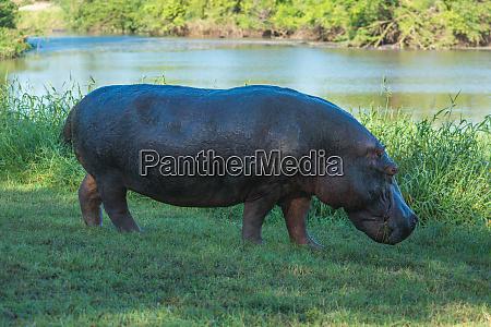 hippo steht auf rasen am fluss