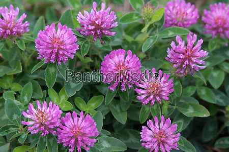 mittlerer klee trifolium medium