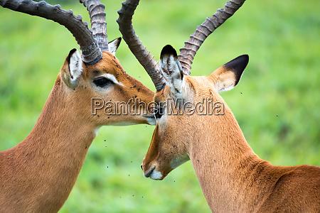 impala familie auf einer graslandschaft in