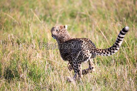 ein gepard wandert zwischen gras und