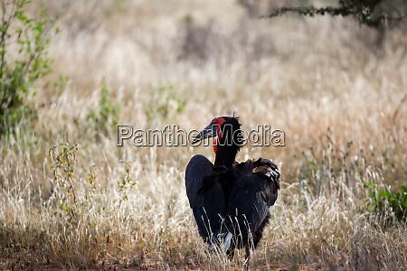 grosser schwarzer vogel mit rotem gesicht