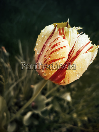 yellow red tulip in a flower