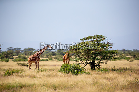 zwei somalia giraffen essen die blaetter