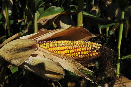 maiskolben in einem maisfeld