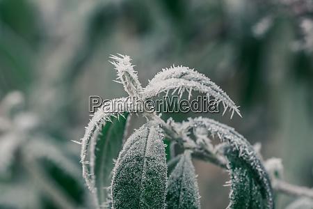 eiskristalle um frostige pflanze im winter