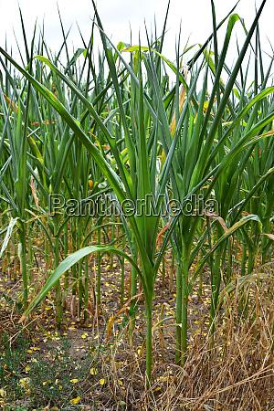 maispflanzen leiden unter trockenheit