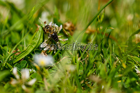 a honey bee is collecting honey