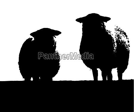 zwei walisische schafe