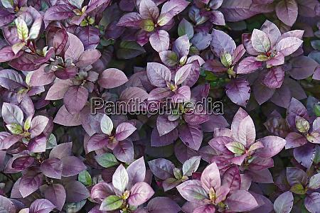 nahaufnahme von purple prince joyweed pflanzen
