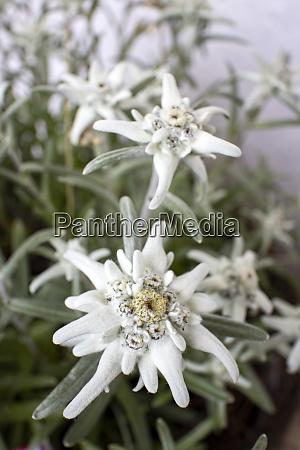 edelweissbluete