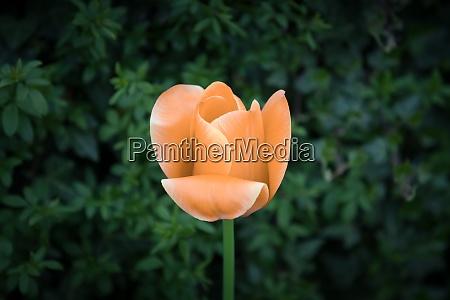 orange tulpenseele in schwarz weiss fuer