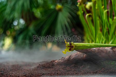 fleischfressende butterbecherpflanzen bei morgennebel im dschungel