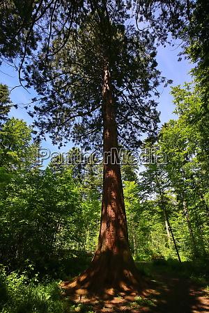 sequoia in der umgebung von sulz