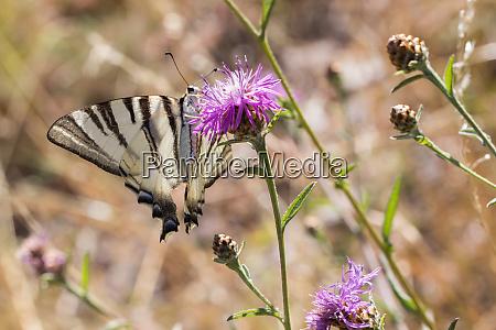 sail, moth, (iphiclides, podalirius) - 28710047
